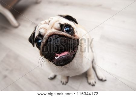 Funny pug snout. Fish eye