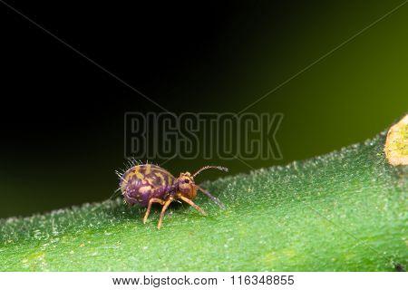 Dicyrtomina saundersi springtail