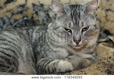 poster of Cat on brown background, Serious cat, cat at home, proud cat, funny cat, grey cat, domestic animal,