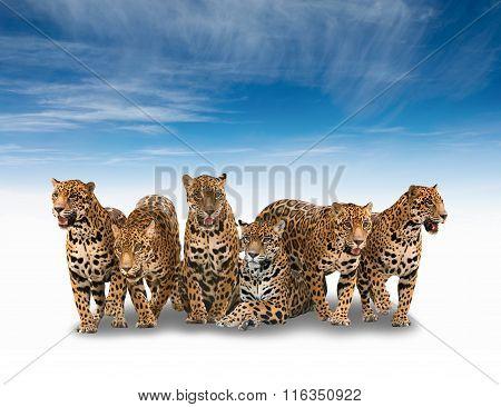 Group Of Jaguar