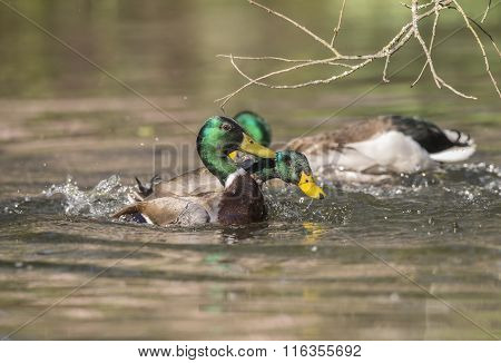 Mallard males having a fight in a pond