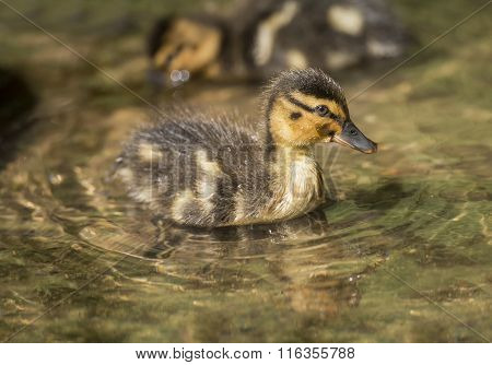 Mallard duckling in the river close up