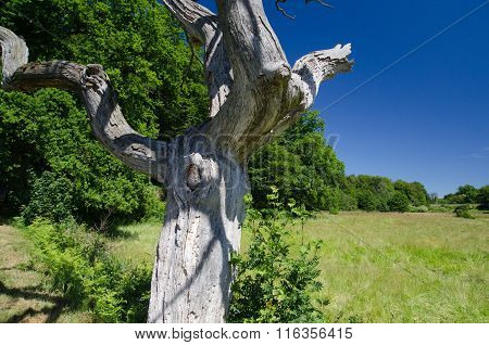 Deawood Tree