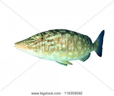 Long-nosed Emperor fish isolated white background