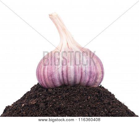 Bright Garlic Bulb