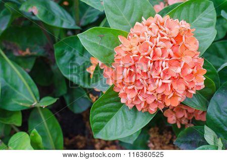 big orange Ixora Flower and Leaves in garden