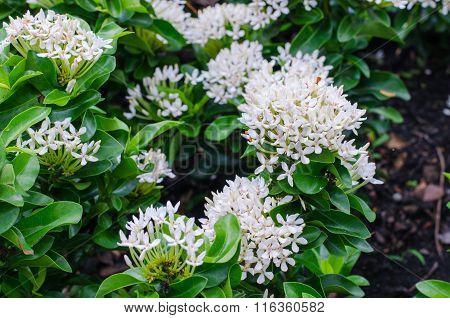 many white Ixora Flower in the garden