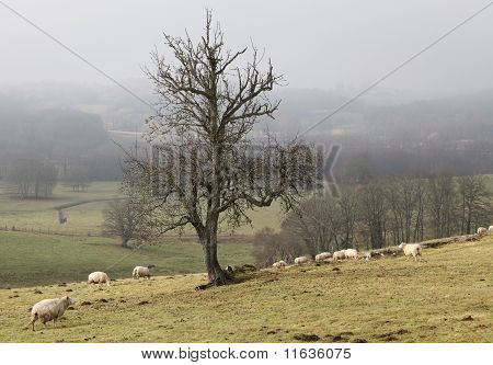 Sheep In Foggy Rural Landscape
