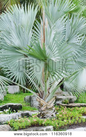 White Palm ,palm Special Species Scarce