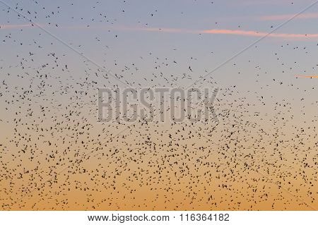 Large amounts of birds flying near the Alte Donau in Vienna at sunset.