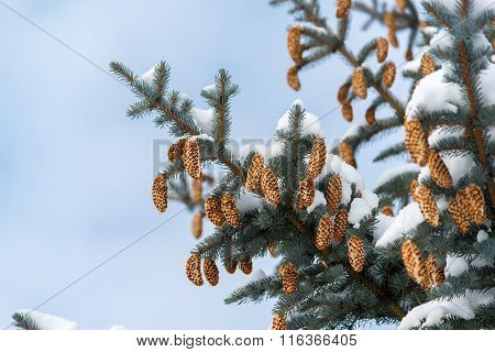 Blue spruce branches with cones in winter
