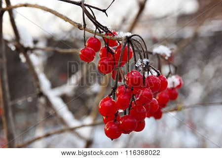 Red berry viburnum in the snow.