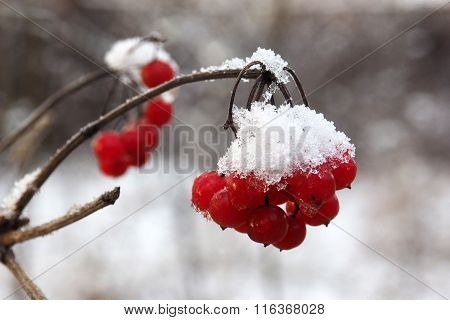 Red berries viburnum in the snow.
