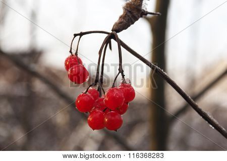 Постер, плакат: Red berry viburnum frozen berries on a branch , холст на подрамнике