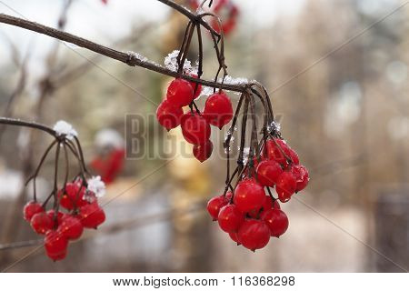 Red berry viburnum, a frosty day.