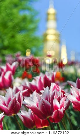 Beautiful red tulip on the background of the Refectory Church