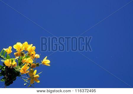 Senna Spectabilis With Blue Sky
