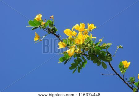 Yellow Senna Spectabilis