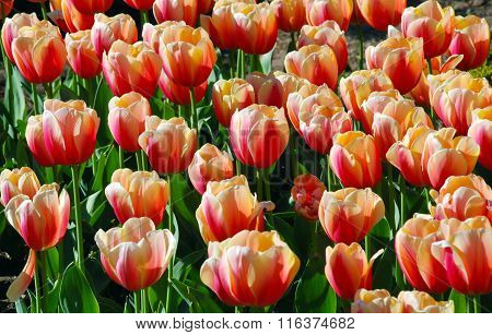 Red tulips in botanical garden