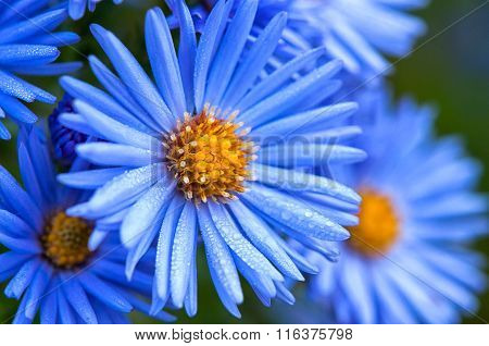 Macro Of Blue Spring Flowers With Morning Water Dew Drops, Close Up