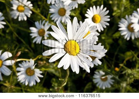 Beautiful Daisies In Morning Lig