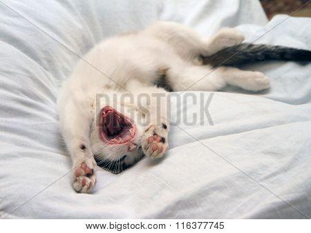 Funny Kitten Yawns