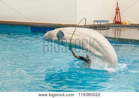 White beluga whale