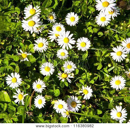 Beautiful Marguerites