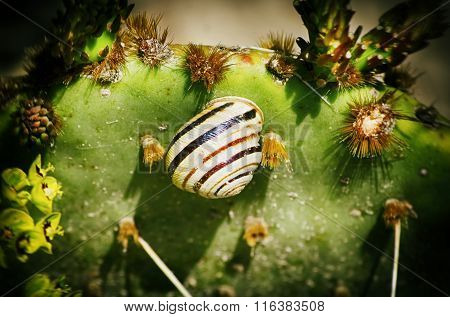 Striped Snail At Cactus