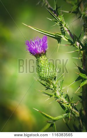 Thistle Over Green