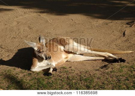 Funny dreaming kangaroo
