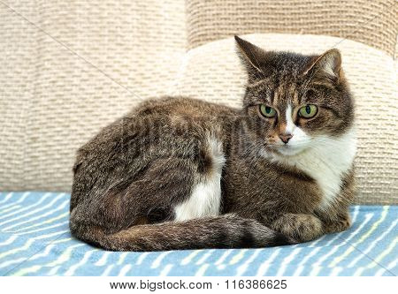 Serious cat, cat at home, domestic animal, grey serious cat in blurry background. Brown cat