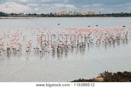 Flamingo Birds Larnaca Cyprus