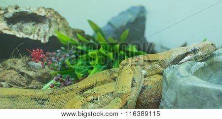 Hypo Central American Boa( Boa Constrictorimperator)