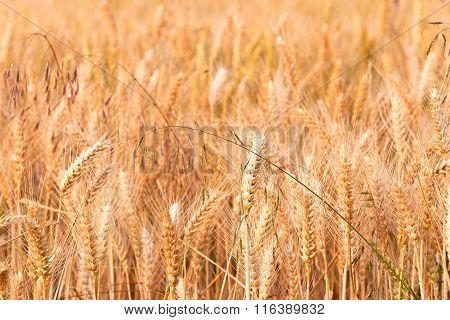Detail Of Golden Corn Field