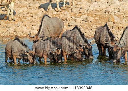 Blue wildebeest (Connochaetes taurinus) drinking water, Etosha National Park, Namibia