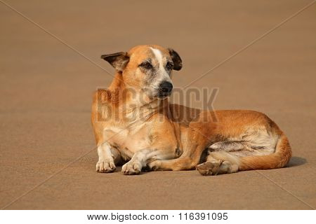 Homeless, stray street dog laying in a street of Delhi, India