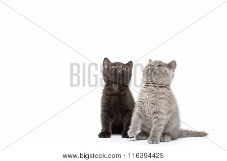 Adorable british little kitten posing
