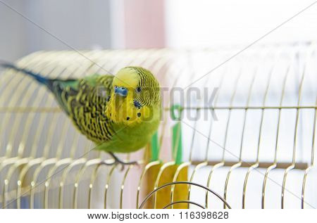 Budgerigar On The cage.