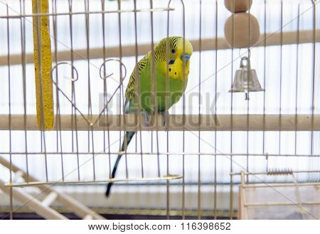 Budgerigar in The cage.
