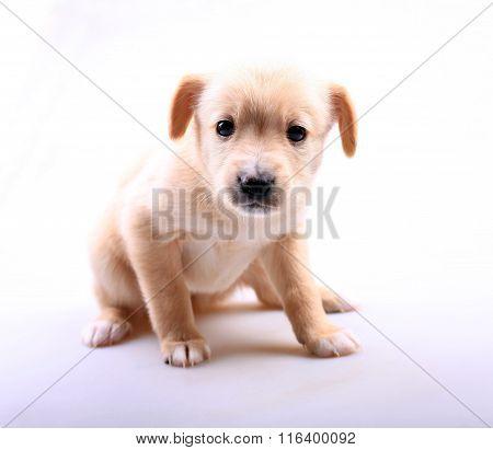 Portrait Of Cute Labrador Puppy