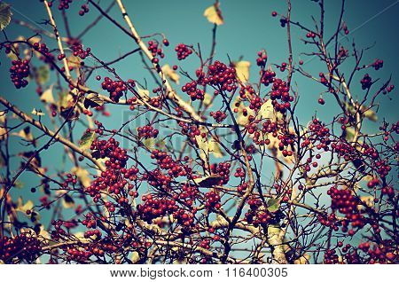 Mountain Ash Tree Berries Against The Sky - Autumn Vintage Background