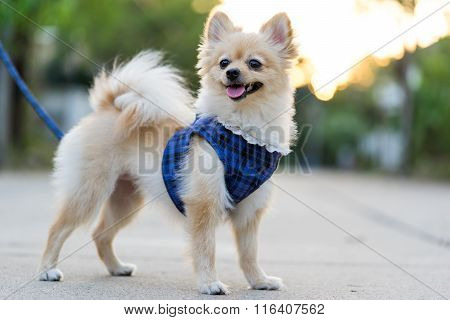 Pomeranian Dog Standing With Blurred Sunset Background