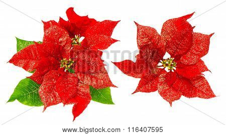Red Poinsettia Blossom With Green Leaves. Christmas Flower