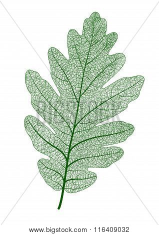 Vector oak leaf isolated.