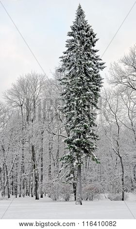 Fir-tree Near Deciduous Trees In The Winter