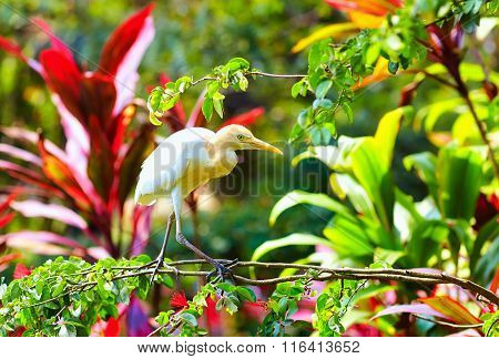 Cattle Egret, Bird Walking In Blooming Garden