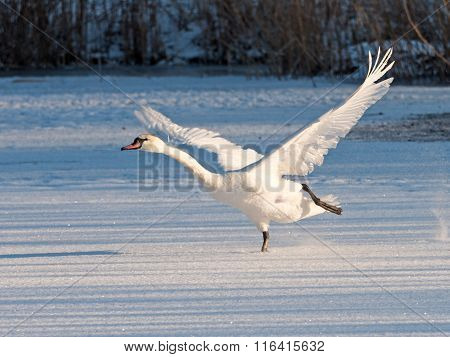 Swan Takes Off