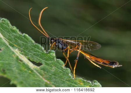 Habrocampulum biguttatum parasitic wasp