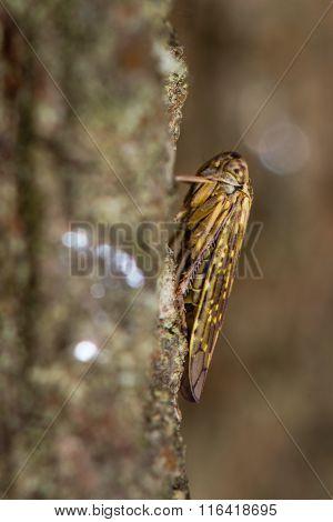 Idiocerus herrichi leafhopper